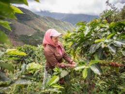 The origins of coffee. Antioquia, Colombia.